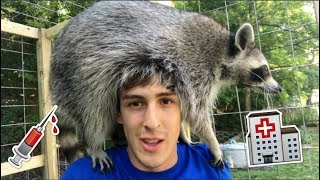 don-t-make-this-mistake-with-your-pet-raccoon
