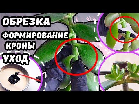 Денежное дерево ОБРЕЗКА и ПРИЩИПКА? Формирование красивой кроны Омоложение Крассула Толстянка Бонсай
