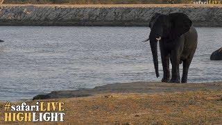 Elephant chase Monitor Lizard thumbnail