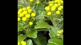 видео Гейхера посадка и уход в открытом грунте Сорта и виды гейхер фото с названиями