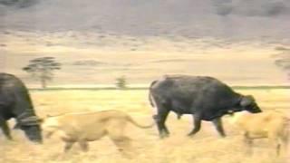 仲間を救助するためにバッファローはライオンをアタック.