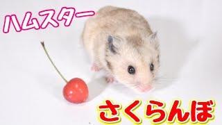 ぷんちゃんの新しいおやつです。 ⭐きょんくまのメインチャンネル↓↓↓ htt...