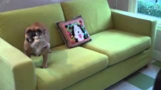 Meet Barclay, Faith Cleary's French Bulldog