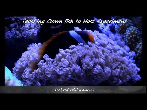 Teaching Clown Fish How To Host Coral Experiment