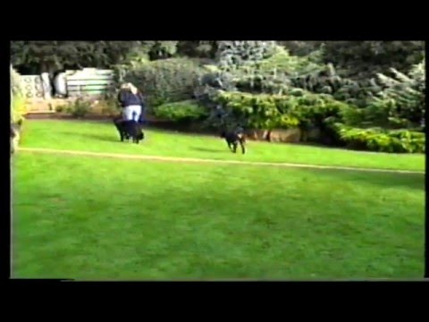 Flat Coat Retriever trying hard to learn heel off lead.