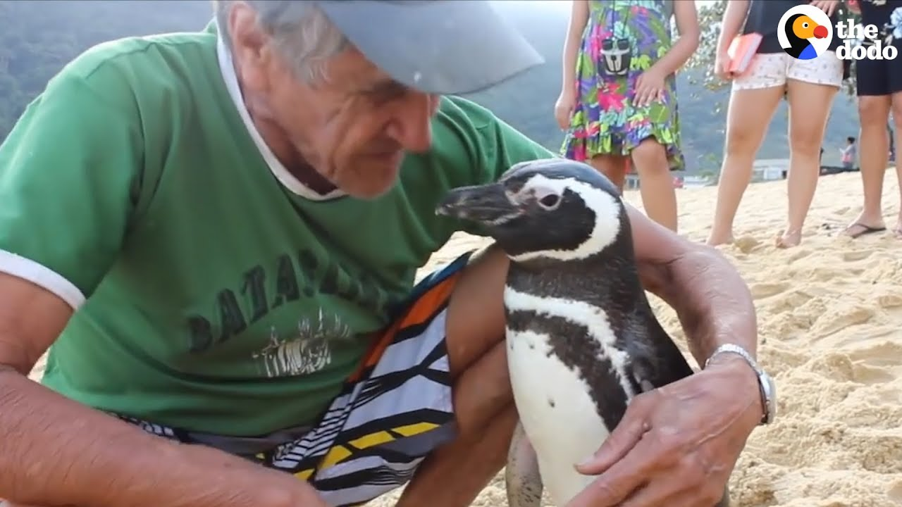 Penguin Visits The Guy Who Saved His Life, Every Single Year