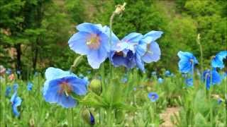 """幻の花""""ヒマラヤの青いケシ Blue Poppy """" 2013.6 長野県大鹿村"""
