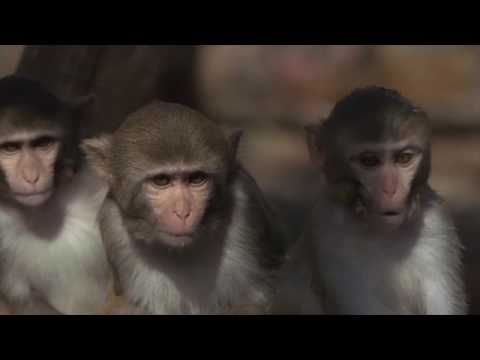 How do primates influence each other when they solve a task together?