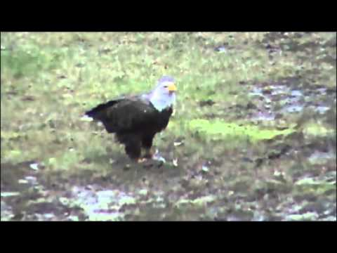 Eagle eating 20 inch Pine Creek brown trout....wmv