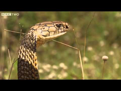 How Dangerous Is The King Cobra? - Natural World: One ...