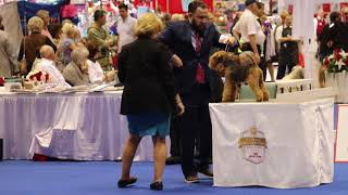 Lakeland Terrier Breed Judging, Orlando 2017