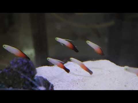 Nemateleotris Magnifica, The More Popular Firefish