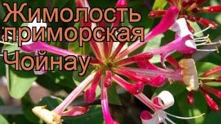Жимолость приморская Чойнау (lonicera chojnow) ???? Чойнау обзор: как сажать, саженцы жимолости Чойнау