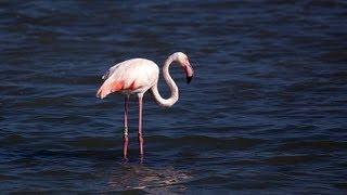 Розовые фламинго видео смотреть онлайн, птицы Испании(http://www.BFoto.ru/fotograf_spain.php - Профессиональный фотограф в Испании, Коста Бланка http://espana-live.com/ - Сайт про Испанию!..., 2013-09-19T16:10:37.000Z)
