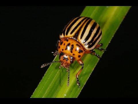 Как избавиться от колорадского жука за 3 минуты!