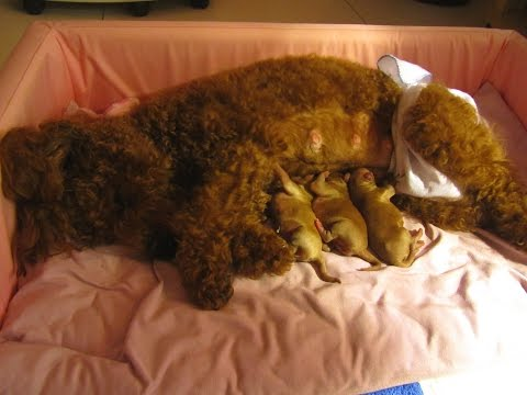 Adorable Caring Mother Toy Poodle & Her 1-Day-Old Puppies