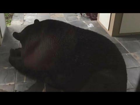 Black bear spotted sleeping outside couple's Florida home