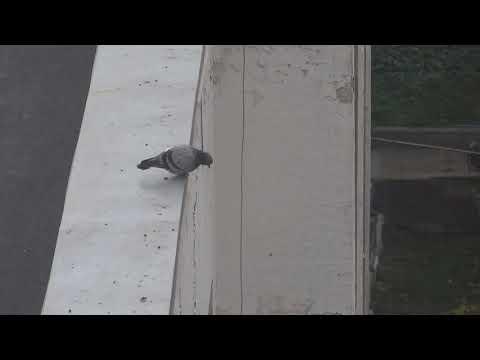 Suicidal pigeon