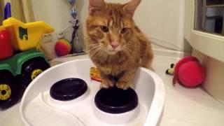 #МейнКун#Maincoon Веня жжет Жизнь котика продолжение Кот хулиган КОТ ВОРЮГА Непоседа