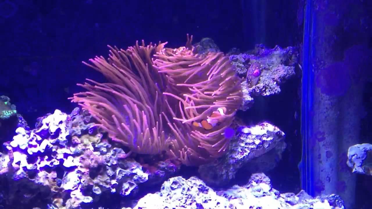 Rose bubble tip anemone care doovi - Anemone species caring color refinement ...