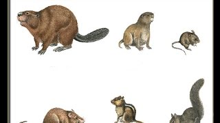 Different types of Rodents. quiz game about Rodent family