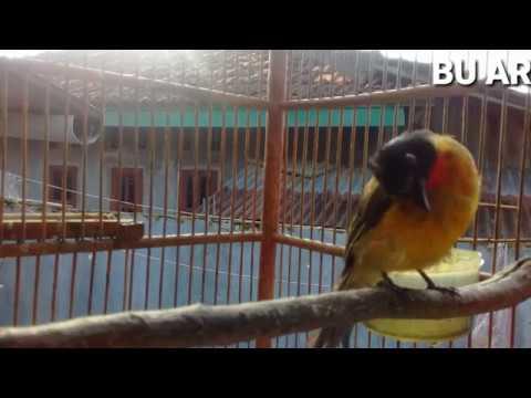 Burung kutilang emas gacor ...suara asli untuk pemikat burung