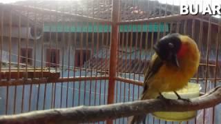 Burung kutilang emas gacor suara asli untuk pemikat burung