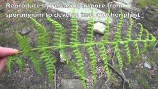 5.5.3 Distinguish between Bryophyta, Filicinophyta, Coniferophyta and Angiospermatophyta