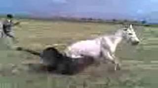Лошадиный бой ;жесть смотреть до конца