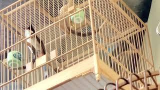 Chào mào bắc của chim cảnh Đất Việt giọng chuông kép tuyệt vời...GIAO LƯU ae