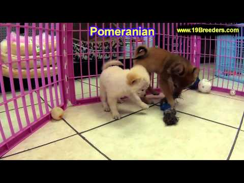 pomeranian,-puppies,-for,-sale,-in,-portland,-oregon,-or,-mcminnville,-oregon-city,-grants-pass,-kei