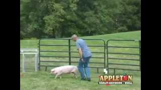 Clarksville, Tennessee Pig Chase