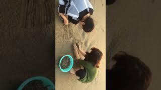Bắt ốc gấu ở biển Cửa Lò
