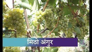 धादिङमा व्यवसायिक अंगुर खेती | Kantipur Samachar