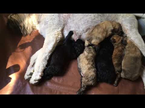 PuppyFinder.com : June 22, 2017 BOUVIER LITTER (newborn)