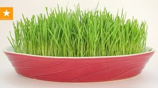 Пророщенная пшеница - зеленая лужайка в домашних условиях. HOW TO GROW WHEATGRASS