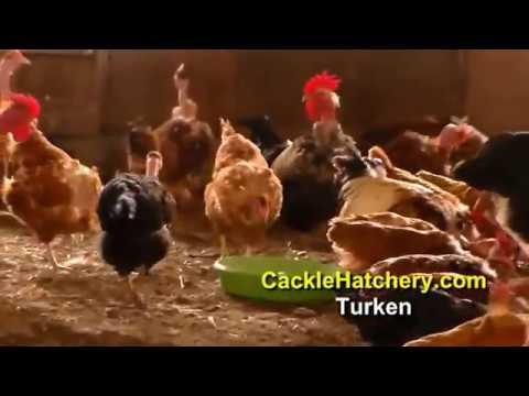 "Turken ""Naked Neck"" Chicken Breed (Breeder Flock) 