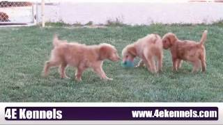 10 Week Old Goldendoodle Puppies Play!