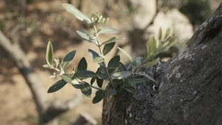 Xylella fastidiosa: the biggest enemy of Italy's olive trees?