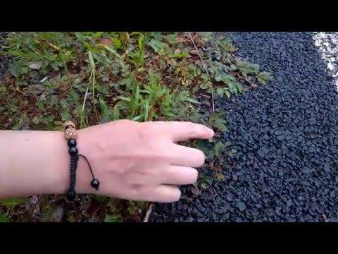 Mimosa Pudica - Hawaii Shy Plant