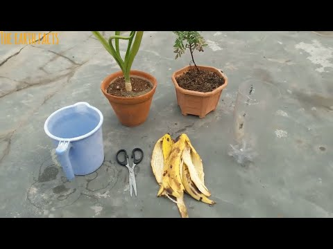 Easy and Free Fertilizer for any Plants | Banana Peel Fertlizer