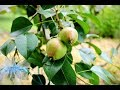 Common Problems with Growing Pear Trees