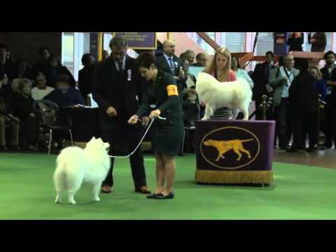 Westminster 2016 American Eskimo Dog