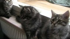 Siberian kittens at 11 weeks - Siperiankissan pennut 11 viikkoa