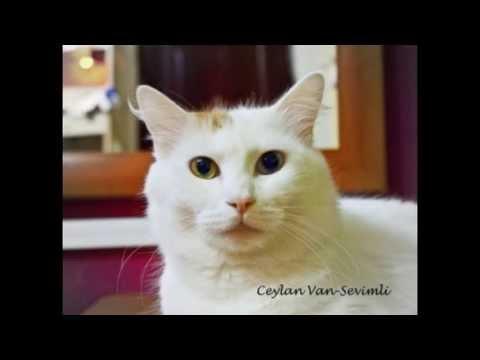 Turkish Van Cats Kot Turecki Van Youtube