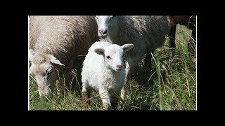 650 moutons qui auraient dû être égorgés à l'Aïd el-Kebir sauvés grâce à Brigitte Bardot