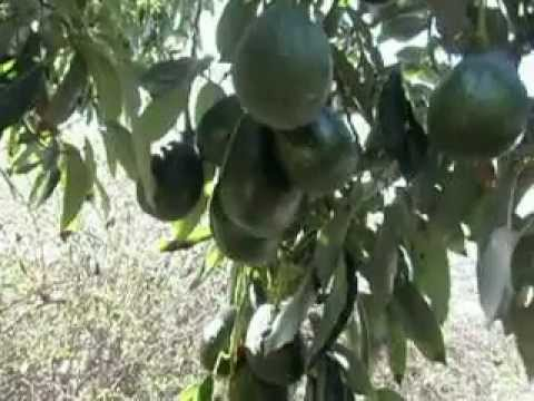 Sir Prize Hass Avocado Tree AVI
