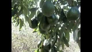 Sir Prize Hass Avocado Tree.AVI
