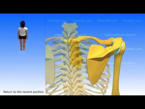 Movements of the Scapula