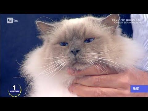 Amici Animali Gatto Sacro Di Birmania Unomattina 06122017 Youtube